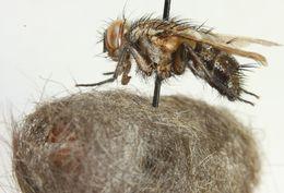 Image of <i>Exorista fasciata</i> (Fallen 1820)