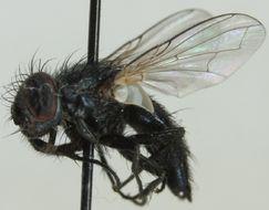 Image of <i>Leucostoma tetraptera</i> (Meigen 1824)