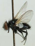 Image of <i>Leucostoma simplex</i> (Fallen 1820)