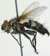 Image of <i>Exorista larvarum</i> (Linnaeus 1758)