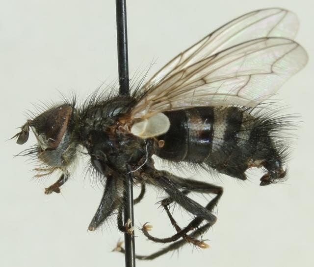Image of <i>Panzeria puparum</i> (Fabricius 1794)