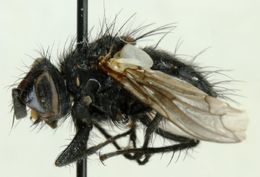 Image of <i>Panzeria truncata</i> (Zetterstedt 1838)