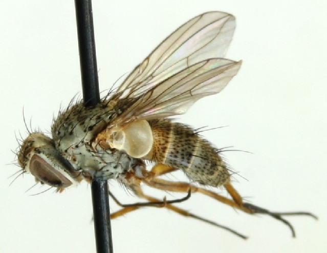 Image of <i>Siphona maculata</i> Staeger 1849