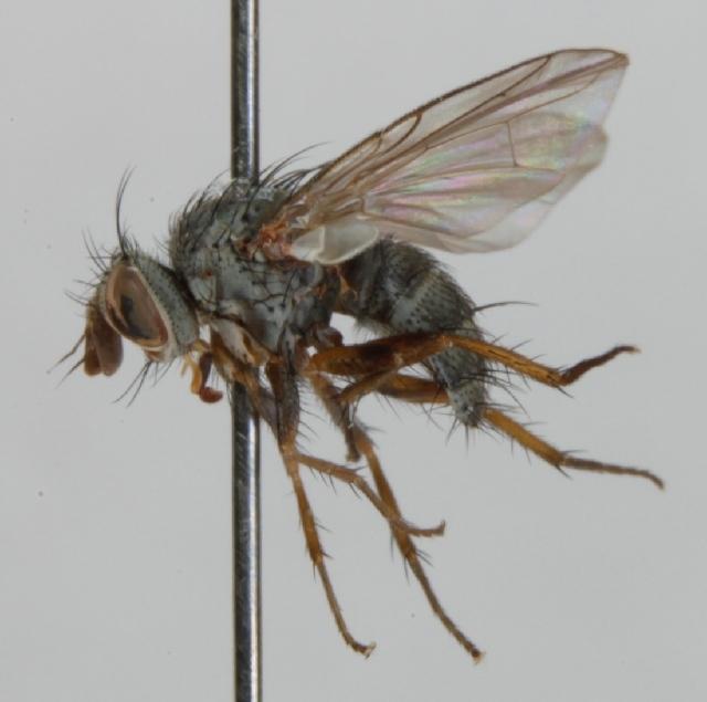 Image of <i>Entomophaga nigrohalterata</i> (Villeneuve 1921)