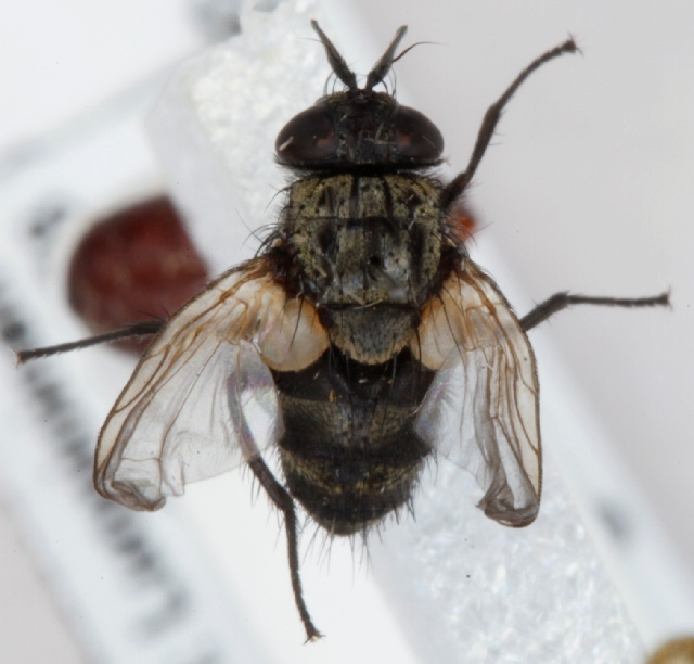 Image of <i>Bactromyia aurulenta</i> (Meigen 1824)