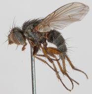 Image of <i>Entomophaga sufferta</i>