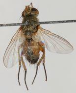 Image of <i>Siphona boreata</i> Mesnil 1960