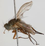 Image of Siphona