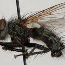 Image of <i>Phorocera obscura</i> (Fallen 1810)
