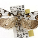Image of Milgithea