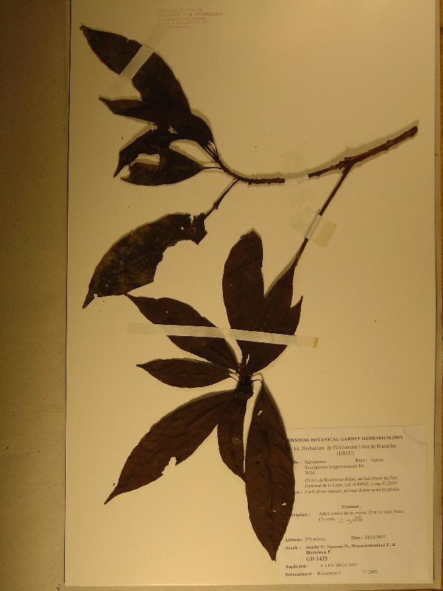 Image of synsepalum