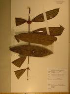 Image of Poecilocalyx