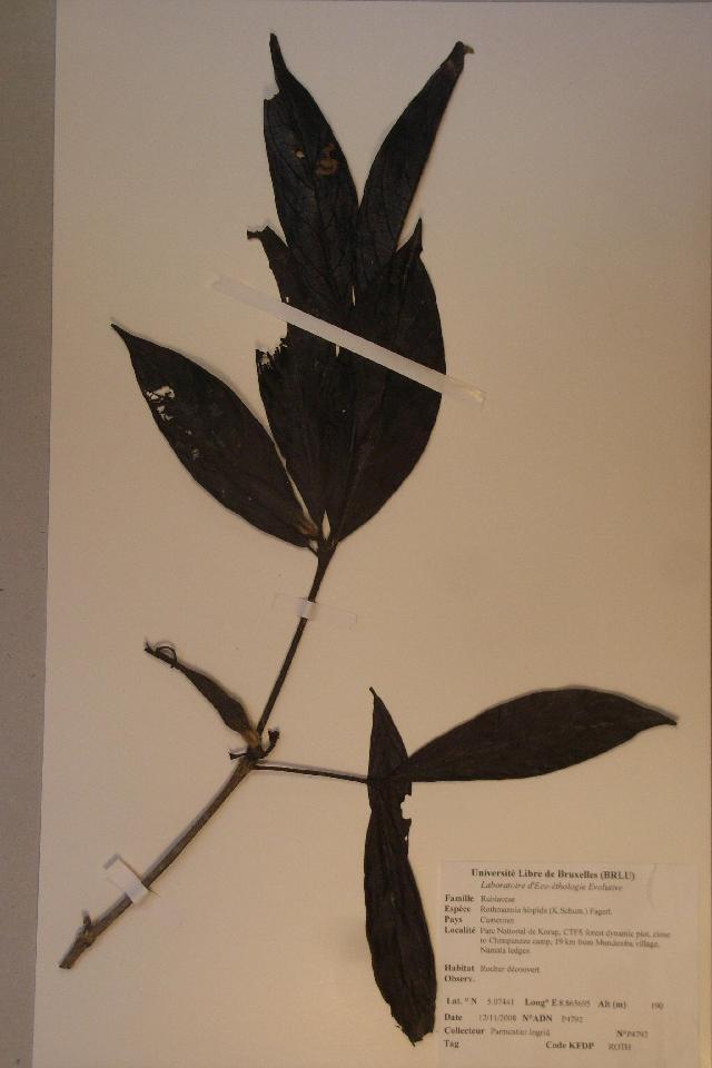 Image of <i>Rothmannia hispida</i> (K. Schum.) Fagerl.