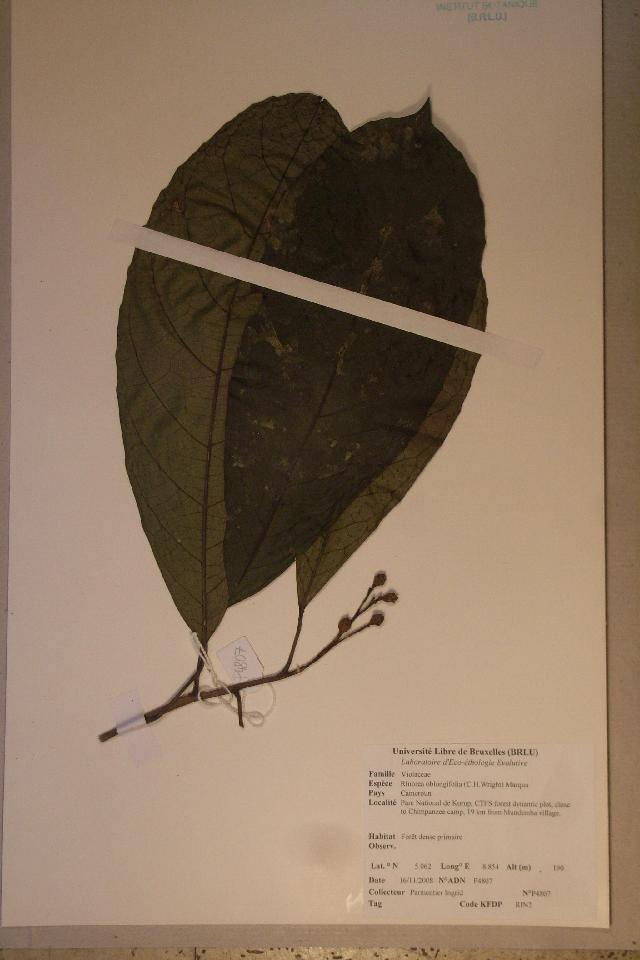Image of <i>Rinorea oblongifolia</i> (C. H. Wright) Marquand