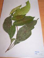 Image of <i>Klaineanthus</i>