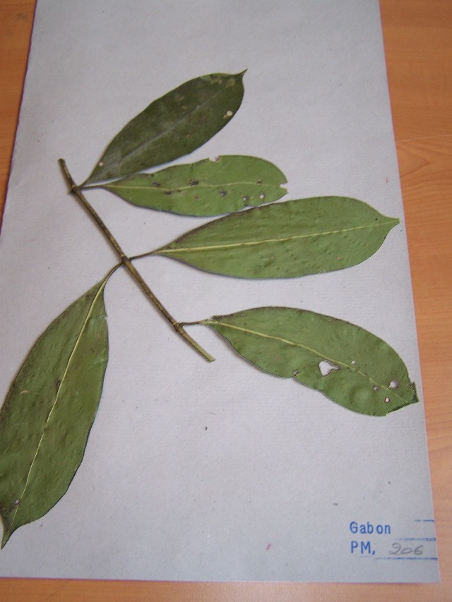 Image of <i>Craterispermum</i>