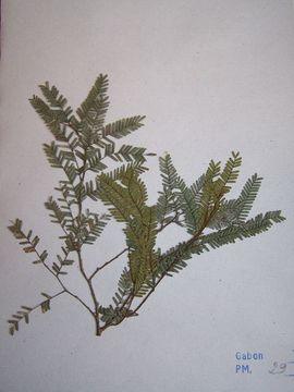 Image of Plagiosiphon