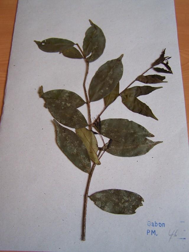 Image of Syzygium