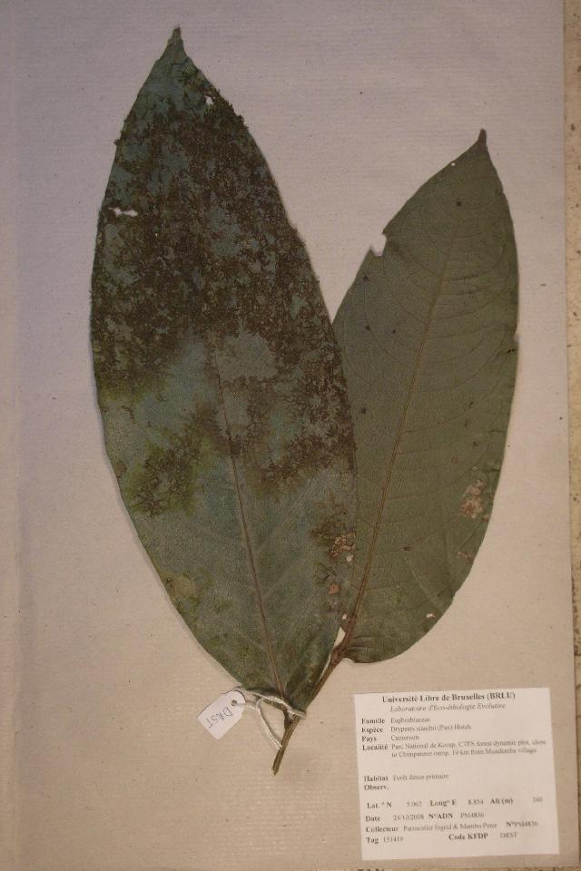 Image of <i>Drypetes staudtii</i> (Pax) Hutch.