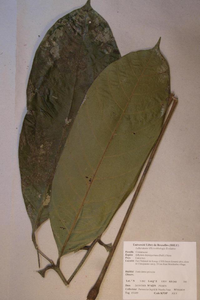 Image of <i>Jollydora duparquetiana</i> (Baill.) Pierre