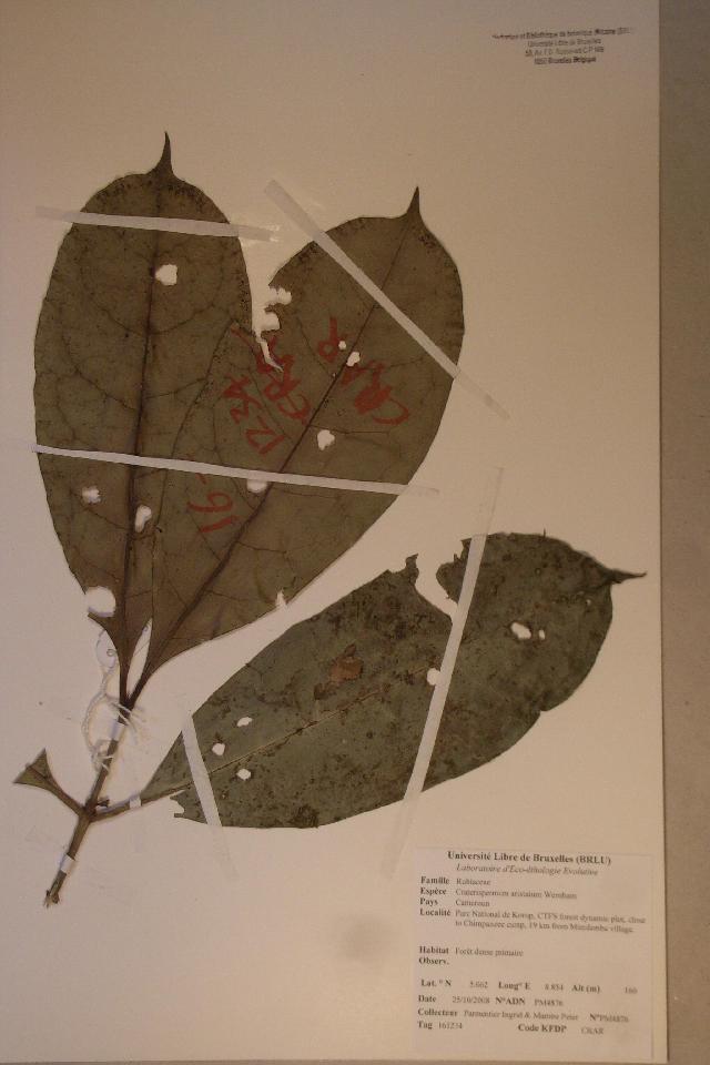 Image of <i>Craterispermum aristatum</i> Wernham