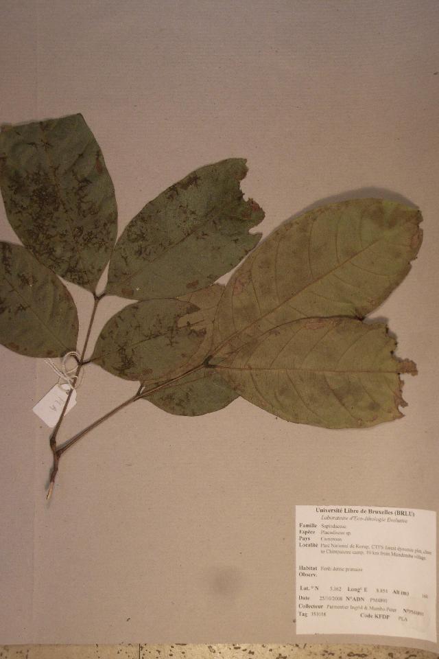Image of <i>Placodiscus</i>