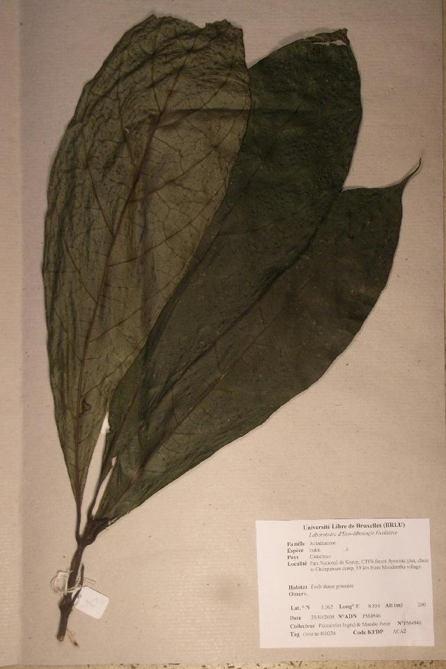 Image of Acanthus family