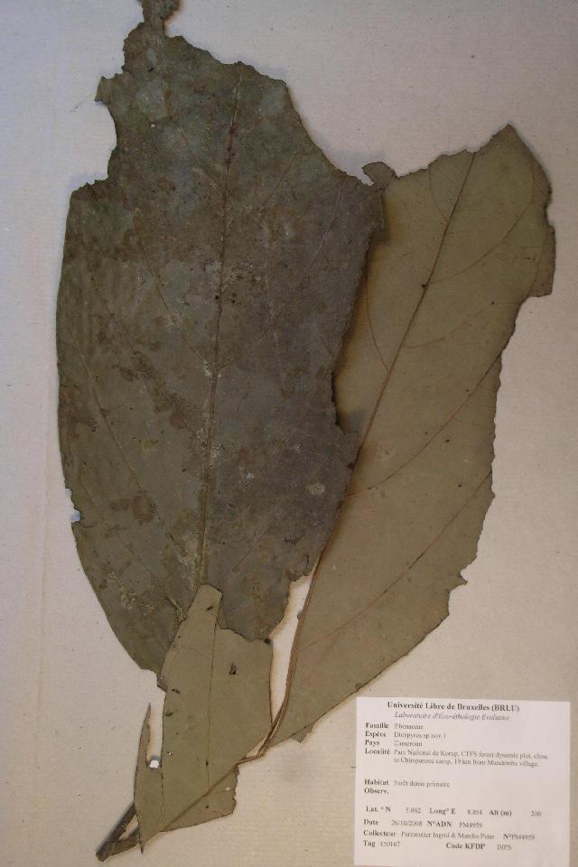 Image of <i>Diospyros</i>