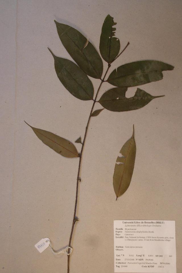 Sivun <i>Endodesmia calophylloides</i> Benth. kuva