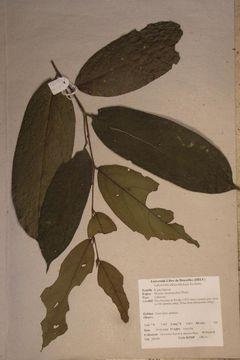 Image of <i>Drypetes laciniata</i> (Pax) Hutch.