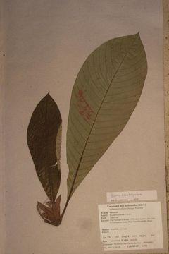 Image of <i>Stipularia africana</i> P. Beauv.
