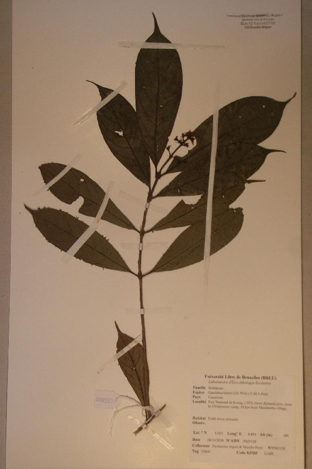 Image of <i>Gaertnera bieleri</i> (De Wild.) E. M. A. Petit
