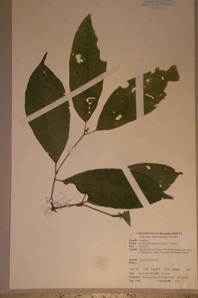 Image of <i>Rinorea subintegrifolia</i> (Oliv.) O. Ktze