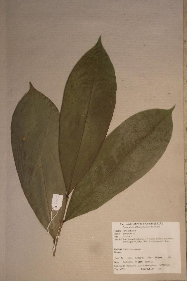 Image of <i>Thecacoris</i>