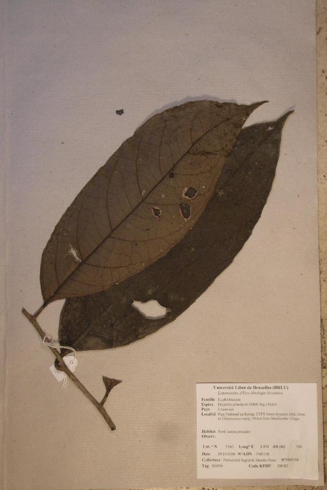Image of <i>Drypetes principum</i> (Müll. Arg.) Hutch.