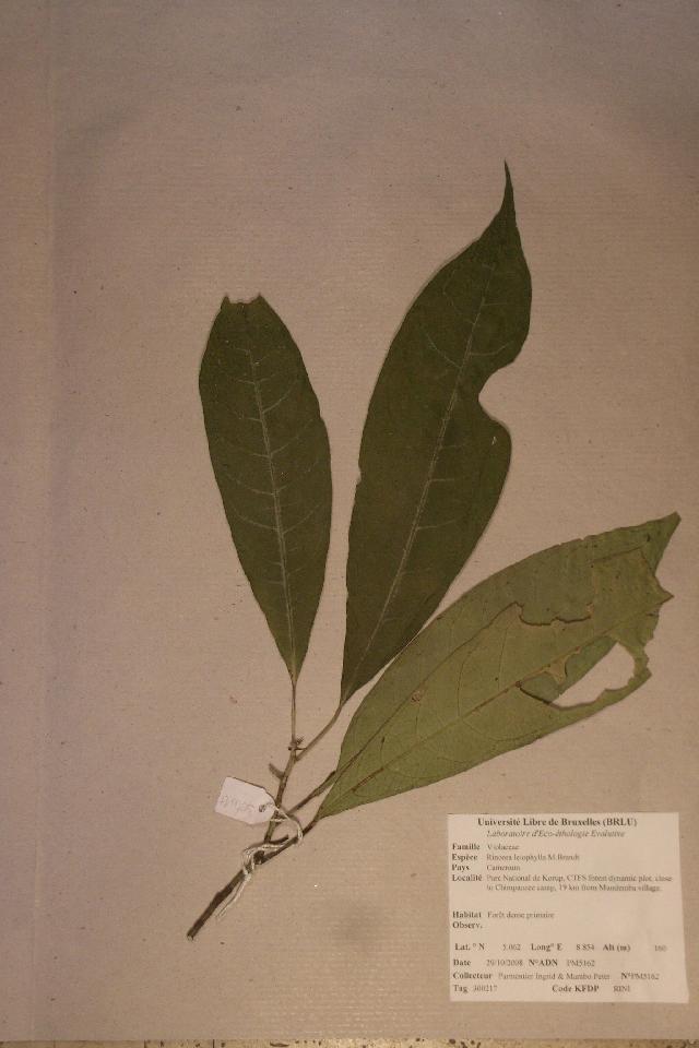Image of <i>Rinorea leiophylla</i> M. Brandt