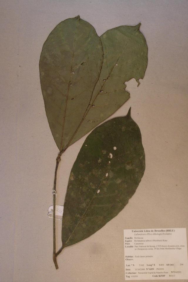 Image of <i>Rothmannia talbotii</i> (Wernham) Keay