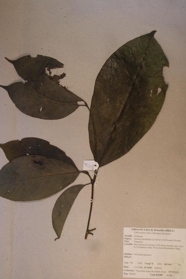 Image of <i>Tarenna lasiorhachis</i> (K. Schum. & K. Krause) Bremek.