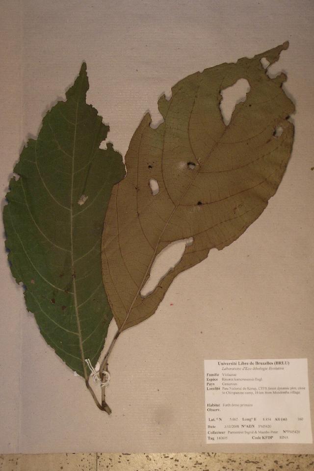 Image of <i>Rinorea kamerunensis</i> Engl.