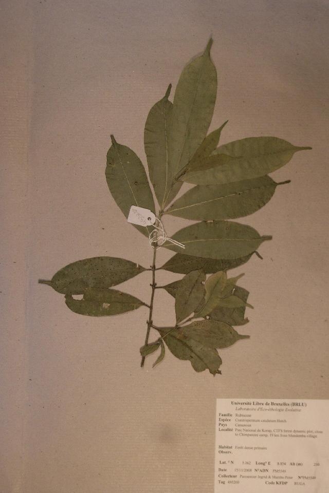 Image of <i>Craterispermum caudatum</i> Hutch.