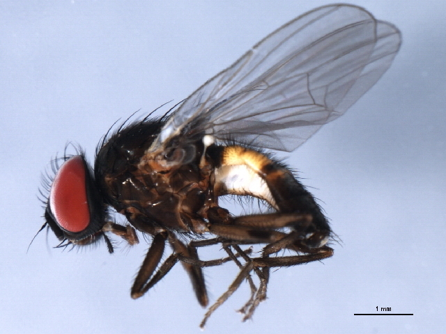 Image of Little House Fly