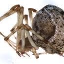 Image of <i>Parasteatoda tepidariorum</i> (C. L. Koch 1841)
