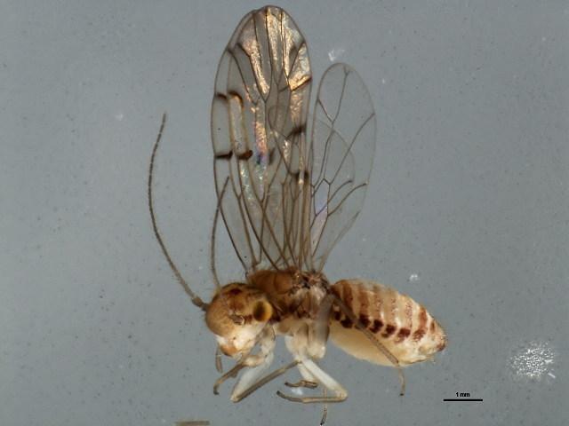 Image of Ectopsocid