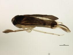 Image of <i>Trichocorixa verticalis fenestrata</i> Walley 1930