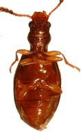 Image of Salpinginae