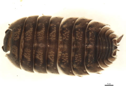 Image of Porcellio