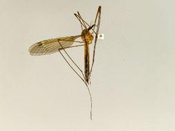 Image of <i>Tipula barbigera</i>