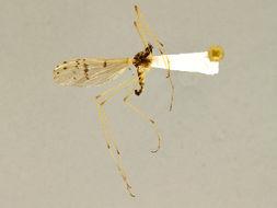 Image of Cladura