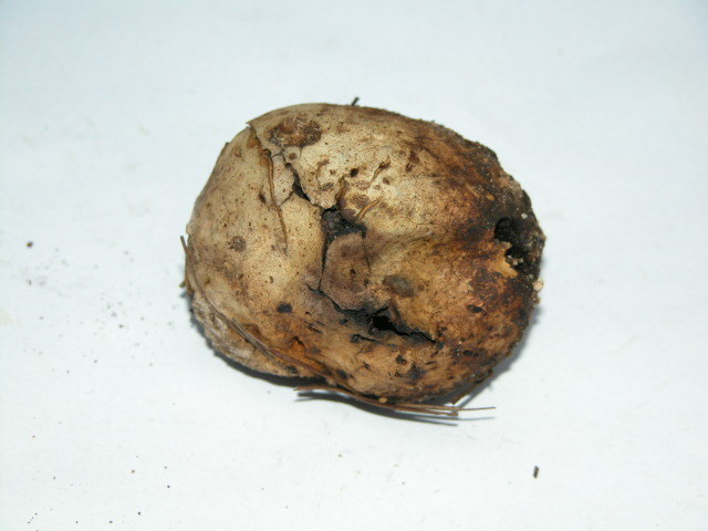 Image of Scleroderma Pers.