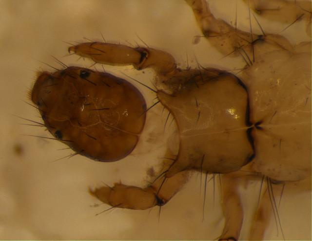 Image of Anisocentropus